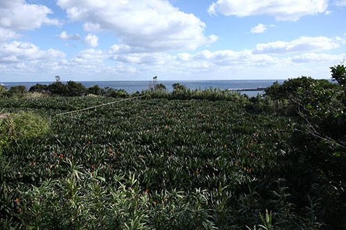 ストレチア畑
